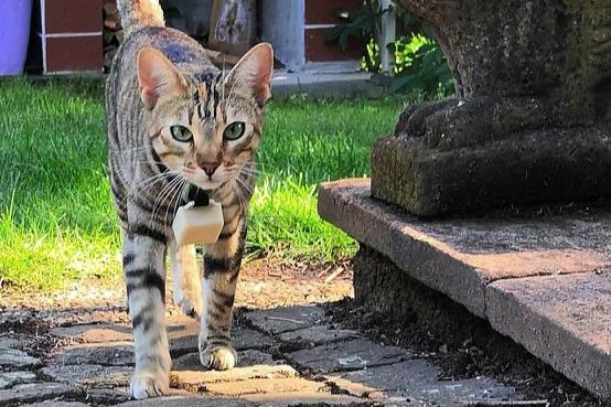 Katze mit CaTracker Halsband